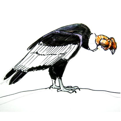 Как нарисовать андского кондора
