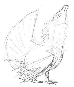 Глухарь-рисунок карандашом