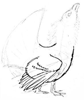 Рисуем туловище и крылья глухаря