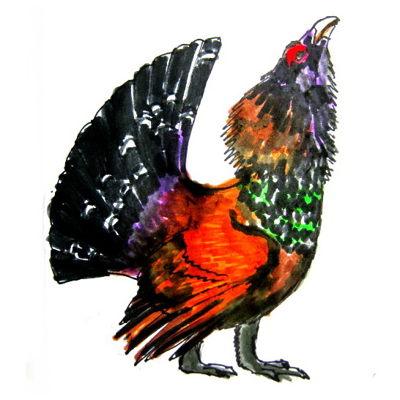 Цветной рисунок глухаря