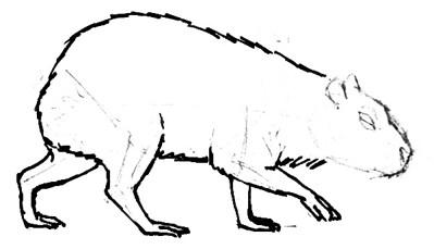 Урок пошагового рисования капибары