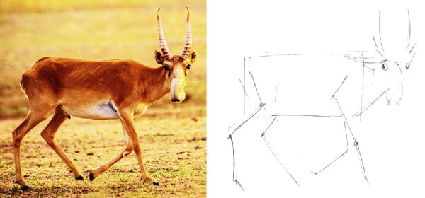Как нарисовать сайгака
