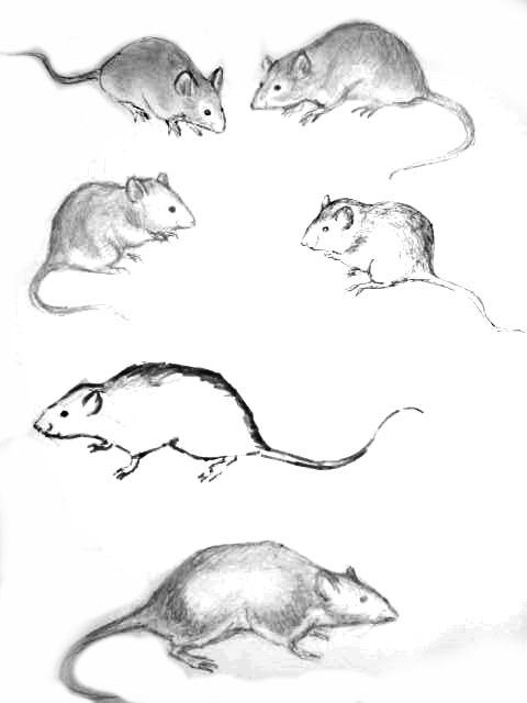 Рисунки мышей