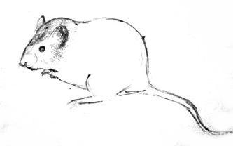 Поэтапный рисунок мышки