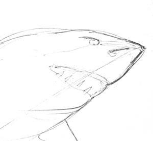 Голова акулы - эскиз