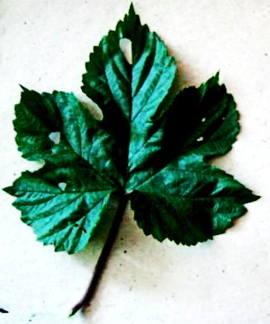 Лист хмеля
