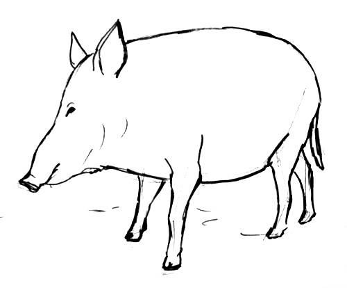 Рисунок кабан 13