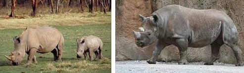 Африканский носорог фото