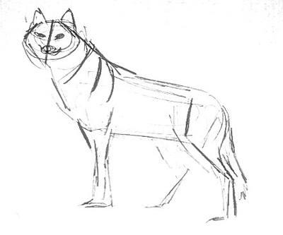Волк - эскиз карандашом