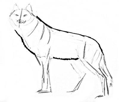 Нарисуем волка поэтапно