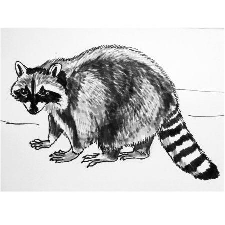 Енот -рисунок