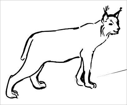 Реалистическая раскраска Рысь