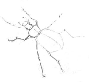 Жук -эскиз карандашом