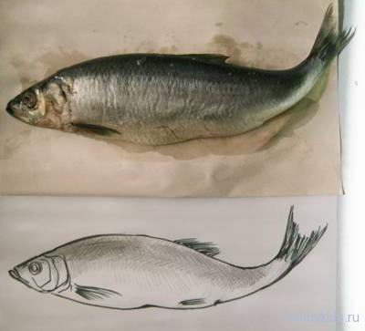 рыба -рисунок с натуры.