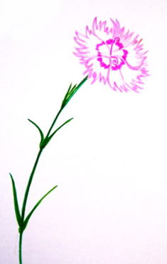 Цветок гвоздика