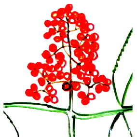 Рисуем ягоды бузины