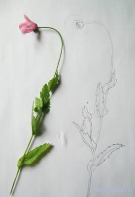 Как нарисовать мак карандашом