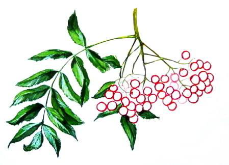 Рисунок рябина 13