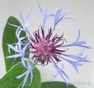 Цветок василька