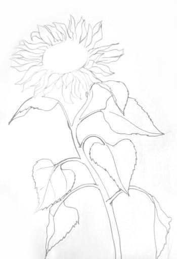 Подсолнух -рисунок карандашом