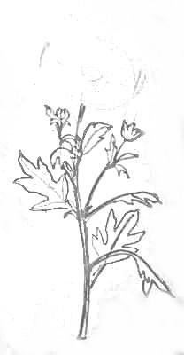 Рисуем цветок хризантемы