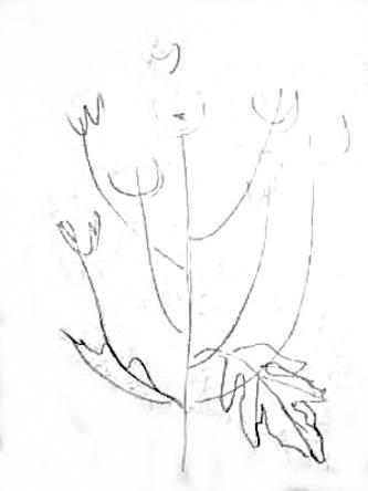 Рисуем хризантемы