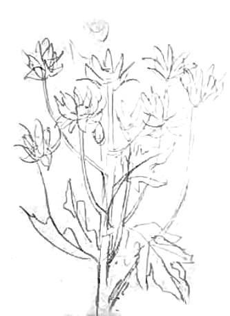 Хризантемы -рисунок карандашом