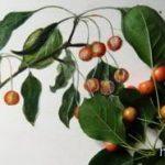 Как нарисовать ветку яблони