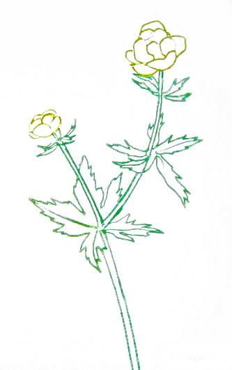 Купальница цветок - рисунок