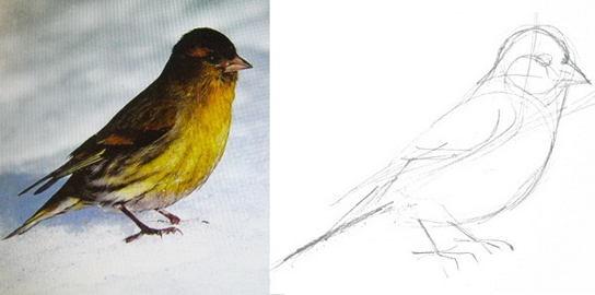 Как нарисовать чижа
