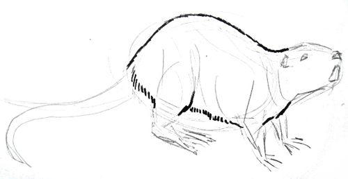 Рисуем нутрию -ондатру.