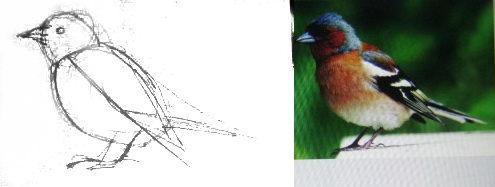Как нарисовать Зяблика