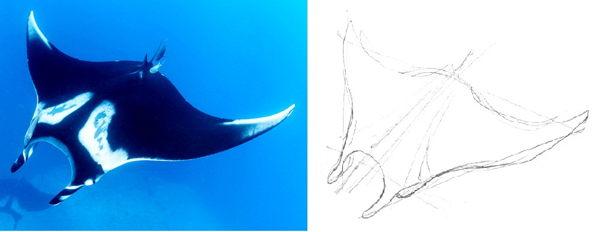 Как нарисовать Манту