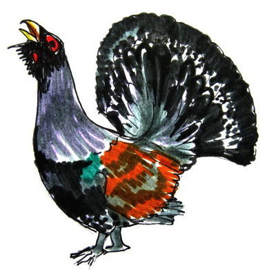 Как нарисовать птицу глухаря и раскраска Глухарь