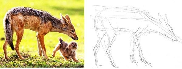 Как нарисовать шакала