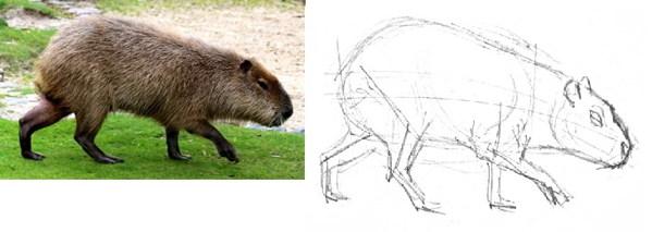 Как нарисовать Капибару